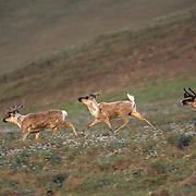 Barren Ground Caribou (Rangifer arcticus).  A [orcupine herd in the Arctic National Wildlife Refuge of Alaska.