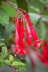 Fuchsia 'Mary' (Triphylla fuchsia)