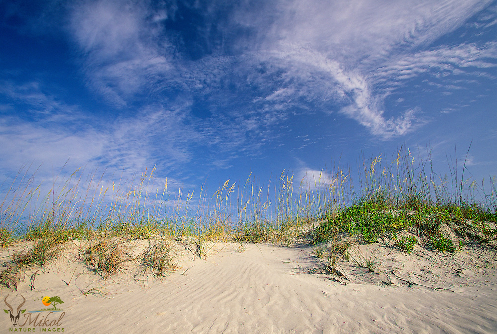 Whispy clouds over dunes lighted by morning sun. Sea oats on rippled sand dunes.