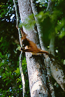 A young Bornean Orangutan (Pongo pygmaeus) climes vines in Gunung Palung National Park, West Kalimantan, Indonesia.