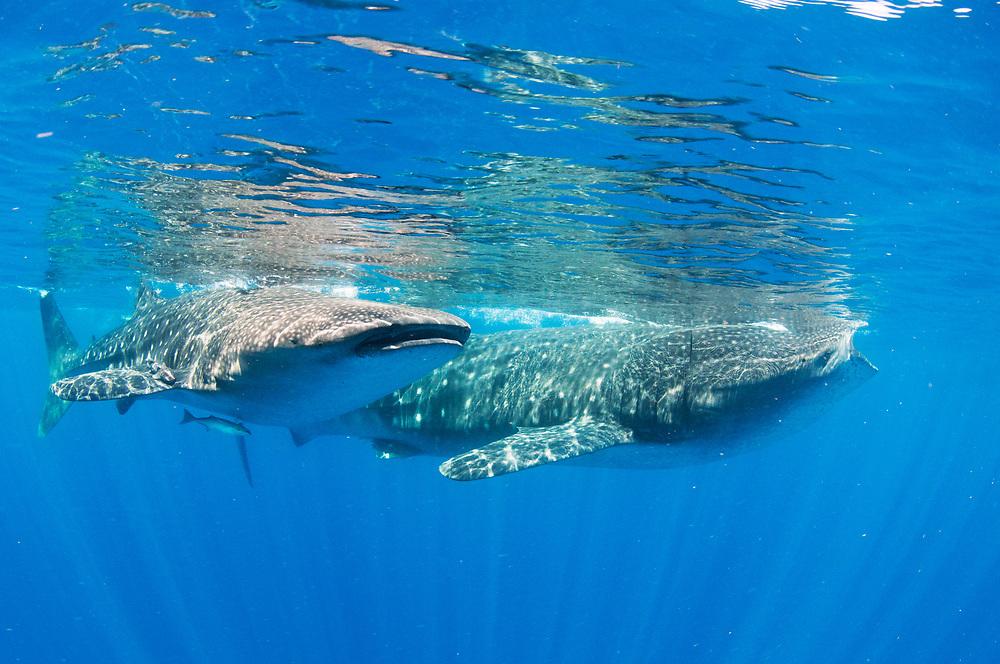 Whale sharks (Rhincodon typus), two, feeding on fish spawn, Isla Mujeres, Mexico.