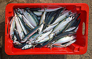 Close up of freshly caught mackerel fish in red box viewed from above, Cornwall, England