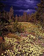 Sulfur Buckwheat, Eriogonum umbellatum, blooming in meadow with storm clouds beyond, north of Arizona Island, Grand Teton National Park, Wyoming.