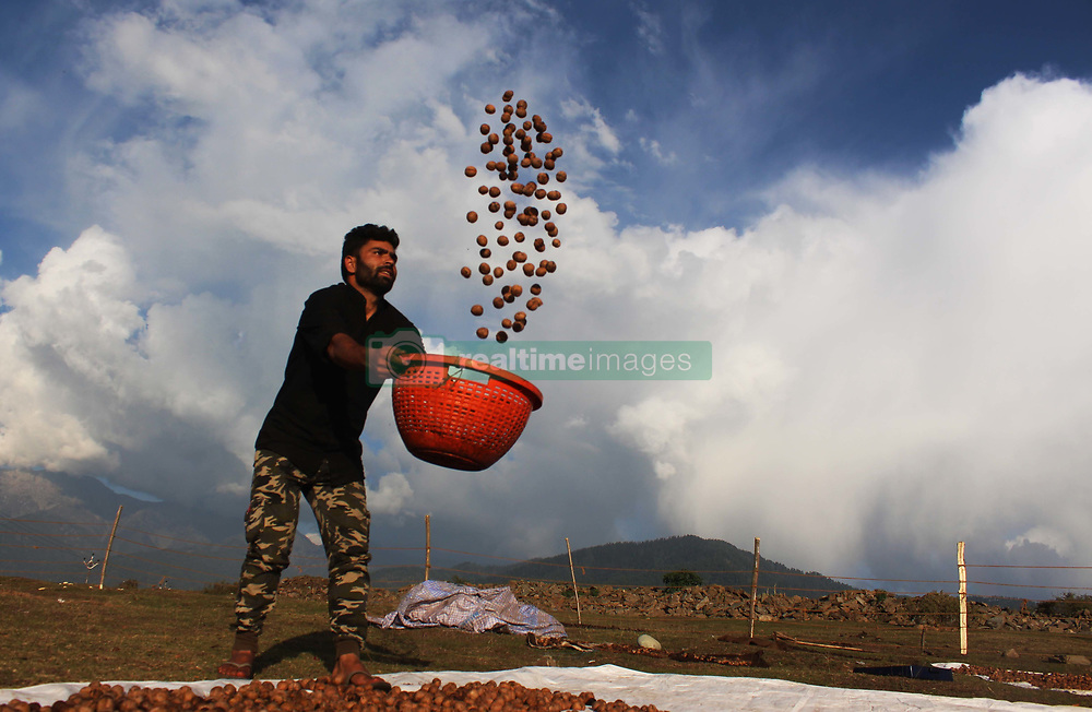 October 1, 2018 - Anantnag, Jammu And Kashmir, India - A Kashmiri worker dries walnuts after removing their green husks and cleaning process on, 01,October, 2018 on the outskirts of Anantnag district 60 km from south of Srinagar, the summer capital of Indian controlled Kashmir, India. Many locals involved in the walnut industry are disappointed as it faces an immense challenge after India allowed imports from other countries. (Credit Image: © Aasif Shafi/Pacific Press via ZUMA Wire)