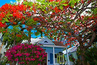 Royal poinciana tree (flame tree) and bougainvillea and house, Key West, Florida Keys, Florida USA