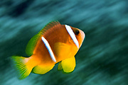 Israel, Eilat, Red Sea, – Underwater photograph of a Red Sea or two-banded clownfish (Amphiprion bicinctus)