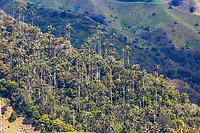 Bosque De Palma De Cera La Samaria  near San Felix near Salamina Caldas in Colombia South America