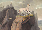 he klipspringer (Oreotragus oreotragus) [Klip-Springer] is a small antelope found in eastern and southern Africa hand colored plate from the collection of  ' African scenery and animals ' by Daniell, Samuel, 1775-1811 and Daniell, William, 1769-1837 published 1804