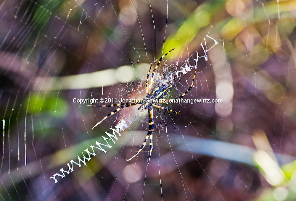 A Nephila clavipes orb-weaver spider in its web in the Florida Everglades. WATERMARKS WILL NOT APPEAR ON PRINTS OR LICENSED IMAGES.