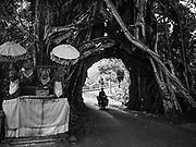 31 JULY 2017 - PEKUTATAN, JEMBRANA, BALI, INDONESIA: A shrine next to a tree in Pekutatan. Road builders cut a tunnel through the tree to facilitate traffic.     PHOTO BY JACK KURTZ