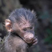 Sweet baby monkey suckling it's fingers.