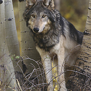 Gray wolf (Canis lupus) adult in an aspen forest during autumn in the Rocky Mountains. Captive Animal