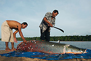 Arapaima (Arapaima gigas) Butchering. Harvest on quota<br /> A South American tropical Fish that is one of the largest in the world.<br /> Rupununi<br /> GUYANA<br /> South America<br /> MODEL RELEASE GYA#1