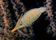 Orange-spotted Filefish (Oxymonacanthus longirostris).