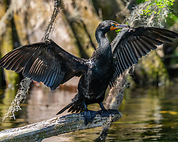 Cormorant drying wings sitting on a branch on the Silver River in Ocala Florida.