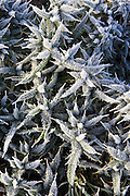 Hoar frost covered Thistle, Oxfordshire, England, United Kingdom