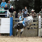 Ben Turner from Timaru in action during the Open Bull Ride competition at the Southland Rodeo, Invercargill,  New Zealand. 29th January 2012
