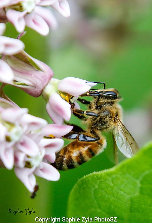 Western Honey Bee Common Milkweed Love
