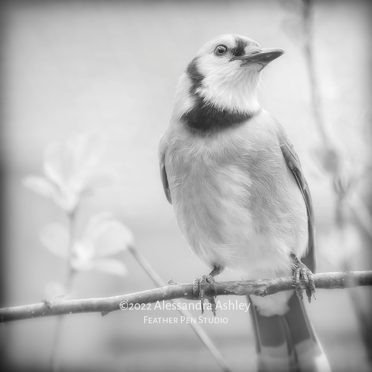 Blue jay (Cyanocitta cristata) in crabapple tree with early spring foliage, lit by overcast and rendered in black and white tones.