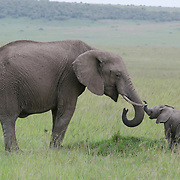 African Elephant mother and baby. Masa Mara Game Reserve, Kenya, Africa