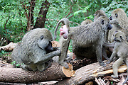 Africa, Tanzania, Serengeti National Park, Olive Baboon (Papio anubis), also called the Anubis Baboon A group interacting