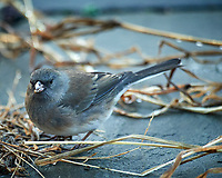 Dark-eyed Junco. Image taken with a Nikon D5 camera and 600 mm f/4 lens (ISO 1600, 600 mm, f/4, 1/160 sec)