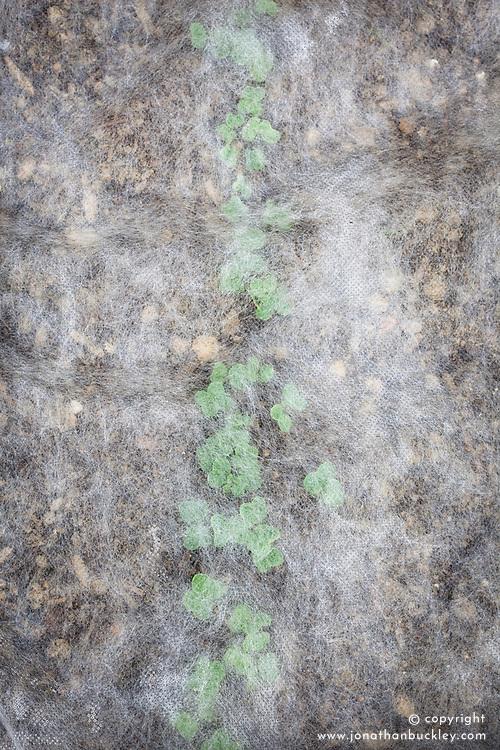 Protecting freshly sown radish seedlings with horticultural fleece