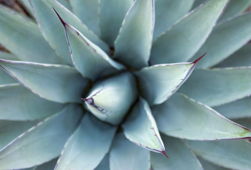 Century Plant also known as Agave Arizona USA&#xA;<br />
