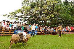 Gineteada mirin com ovelhas durante o 12 Rodeio Internacional do Mercosul. FOTO: Jefferson Bernardes/Preview.com