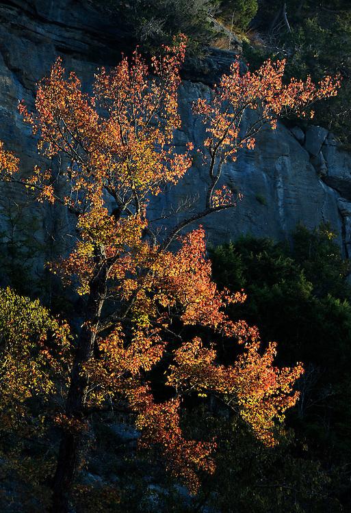 Sweetgum and morning light, Buffalo National River, Arkansas.