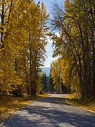 Black Cottonwoods lining the Outside North Fork Road southeast of Polebridge, Montana.