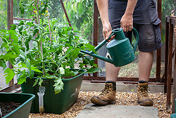 Watering tomatoes in a greenhouse regularly to prevent fruit split and blossom end rot