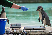 Penguins are enticed with fish - The annual weigh-in records animals' vital statistics at ZSL London Zoo. London, 24 August 2017