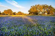 Bluebonnet abundance, the Texas state flower, New Braunfels, Texas
