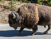 Bison on the road near Mammoth Hot Springs in Yellowstone National Park, Wyoming, USA.
