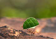 Leaf cutter ants carry a leaf in the rain forest in Costa Rica