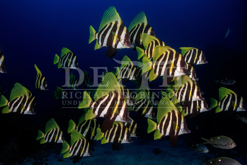 Evistias acutirostris (Striped boarfish).<br /> Saturday 03 October 2015.<br /> Photograph Richard Robinson © 2015.<br /> Dive Number: 758<br /> Site: Milne Islets, Raoul Island, Kermadec Islands, New Zealand.<br /> Dive Buddy: Steve Hathaway.<br /> Boat: Braveheart.<br /> Temperature: 19 degrees.<br /> Maximum Depth: 27.1 meters.<br /> Bottom Time: 60 minutes.<br /> Bottom Time to Date: 42,250 minutes.<br /> Cumulative Time: 42,310 minutes.
