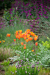 Tulipa 'Ballerina' in the borders at Pettifers