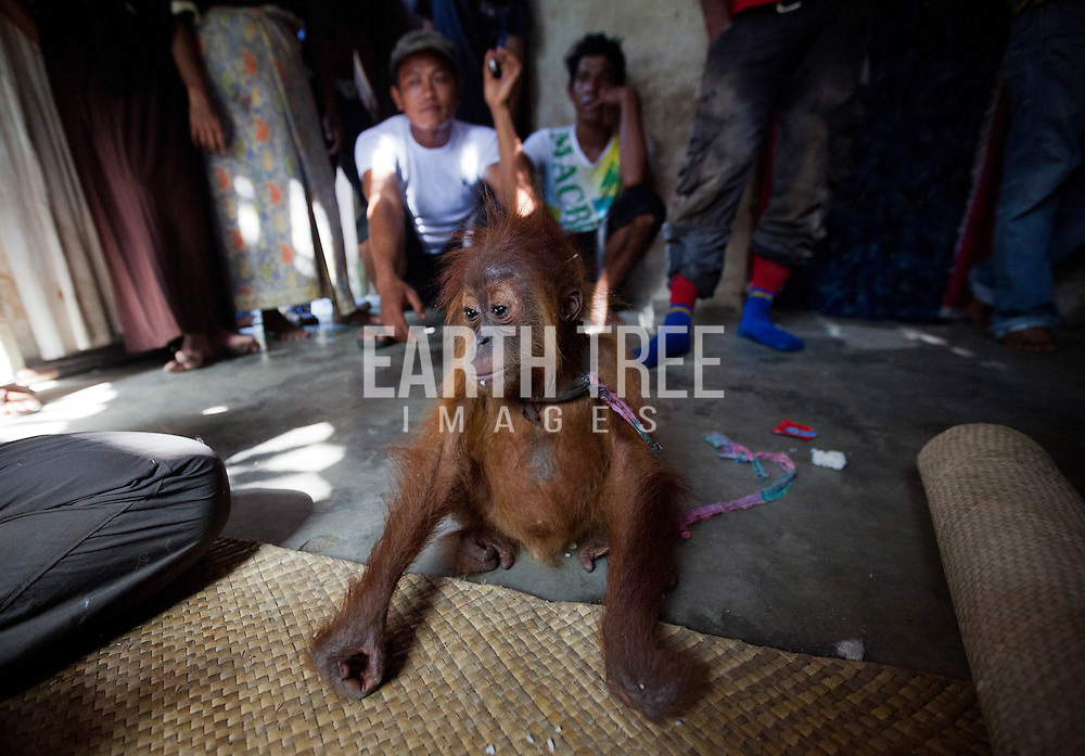 An infant male orangutan being held illegally by wildlife traders in a small village on the outskirts of the Tripa peat forest, Aceh Province, Indonesia. The orangutan was discovered by an undercover investigation team on the 12th June, and four days later, was successfully confiscated by a team involving staff from the Sumatran Orangutan Conservation Program, Local Police and Government Authorities. According to Dr Ian Singleton of SOCP, the Tripa peat forest is home to the highest population density of Orangutan found anywhere on earth, but if current levels of forest clearing and conversion to plan oil plantation is not stopped immediately they will be come locally extinct very shortly. Photo: Paul Hilton/