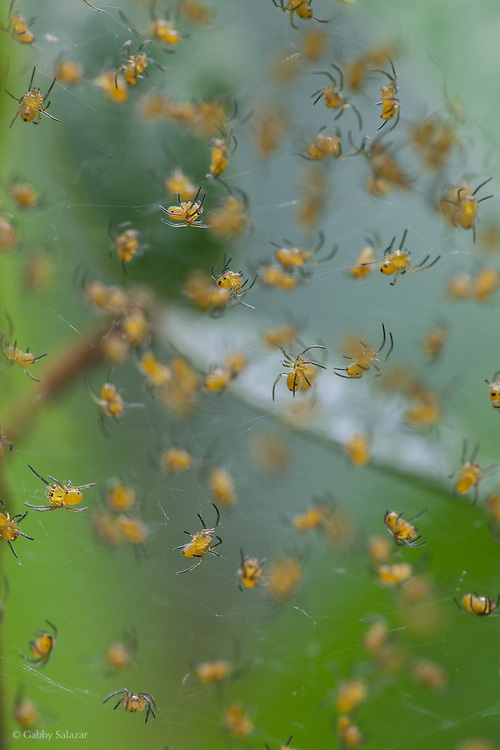 Spiders. Villa Carmen Biological Reserve near Pilcopata, Peru. The reserve is around 600 meters in elevation and includes pre-montane rainforest and lowland rainforest. It is owned by the Amazon Conservation Association and its Peruvian sister organization, La Asociación para la Conservación de la Cuenca Amazónica.