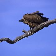 Whitebacked Vulture, (Gyps bengalensis) Perched on dead acacia tree. Kalahari Desert. Africa.