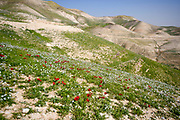 After a rare rainy season in the Negev Desert, Israel, an abundance of wildflowers sprout out and bloom. Photographed Kidron valley, Judaean desert, West Bank Palestine Israel in March
