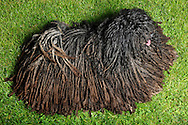 """Puli (Canis lupus familiaris), Hungarian herding and livestock guarding dog known for its long, corded coat. The tight curls of the coat are similar to dreadlocks. The coat of some Puli dogs can be different, thinner or thicker cords, either flat or round, depending on the texture of the coat and the balance of undercoat to outer coat. The coat is the result of a controlled matting process. The Pulik (plural of puli) Dog's coat is normally a shade ofblack, rusty black, white or various shades of grey and sand. The coat is normally dense and weatherproof. The outer coat is wavy or curly, while the undercoat is soft and woolly. Correct proportion of each creates the desired cords. They start forming cords when they are becoming adults, as puppies do not have cords. Coat protecting the herding dog against cold and predator-bitten. Singhofen, Rhineland-Palatinate, Germany.This picture is part of the series """"Creature's Coiffure""""..Ungarischer Puli (Canis lupus familiaris) Der Puli ist ein aus Ungarn stammender Huete -und Treibhund. Charakteristisch ist sein meist bis zum Boden reichendes zu Rastalocken gedrehtes Fell. Dieses Haarkleid bildet sich über einen Zeitraum von 1 bis 2 Jahren nach Ablegen des flauschigen Welpenfells, wenn feine Unterwolle und groebere Deckhaare miteinander verfilzen. Hat das Fell - genetisch bedingt - die richtige Mischung aus groeberem Deckhaar und feinerer Unterwolle, verfilzt nicht das gesamte Deckfell zu einer Planke (Platte), sondern faellt bei nur wenig Pflege durch die Halter in duennen Schnueren oder Baendern. Aufgrund des ueppigen Haarkleides und der im Fell verbleibenden toten Unterwolle riecht das Fell dieser Hunderasse bei Naesse stark. Dieses dichte Fell soll den arbeitenden Huetehund jedoch sowohl vor Kaelte als auch vor den Bissen angreifender Raubtiere schuetzen. Die Zottel bedecken auch die Augen, so dass der Hund sichtbehindert sein kann. Die dichtbehaarte Rute wird aufgerollt getragen. Pulik (Mehrzahl von Puli) koennen entwede"""