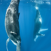 This photograph is from my fourth encounter with humpback whale calf 201404 (female), nicknamed the Bible by the whale watch boat captains. This playful calf is mimicking her mother, visible in the background. The adult female had the habit of resting with her fluke at the surface, as pictured here, for extended periods of time while her calf played.