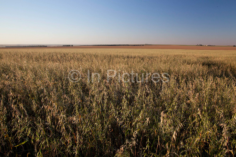Oat barley crops on a large farm. Brazil is the largest producer of Sugar and Beef, then second for Soya and third for Maize. Many of the farms are in the state of Mato Grosso and Mato Grosso do Sul, they are often enournmous, stretching for miles kilometres. A lot of the crops are processed on site and kept in large warehouses or silos.
