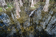 An alligator in Big Cyrpess Preserve