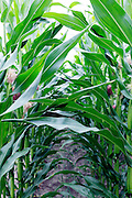 between the rows of corn maize