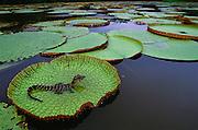 Black Caiman on Victoria Regis Lilies<br /> Melanosuchus niger<br /> Iwokrama Reserve, GUYANA  South America<br /> RANGE;  Amazon & Orinoco Basins