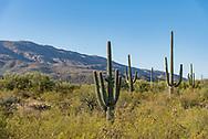 Saguaro National Park in Tucson, Arizona.