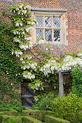 Wisteria venusta in the White Garden at Sissinghurst Castle